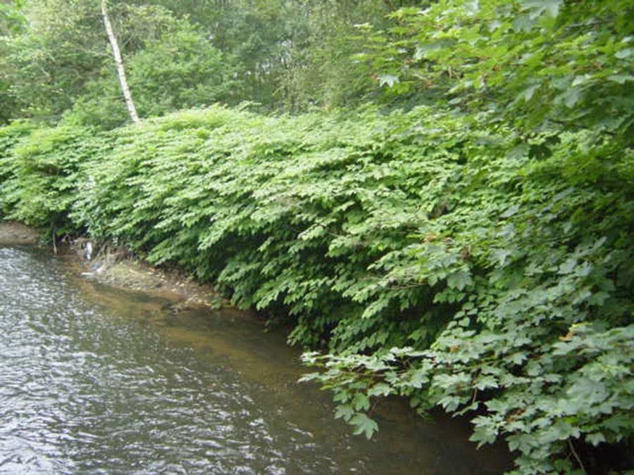 Japanese knotweed top tips from The LK Group